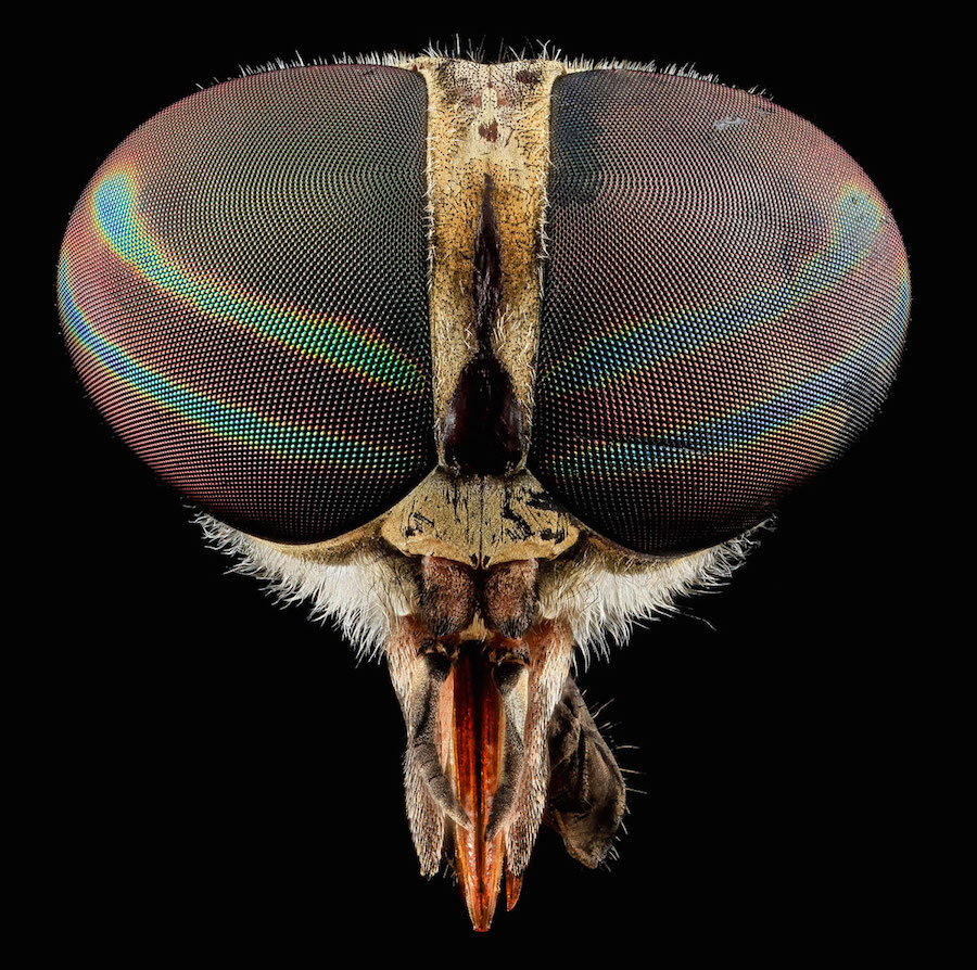 Tabanus Fly