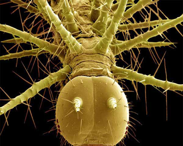 тропическая гусеница
