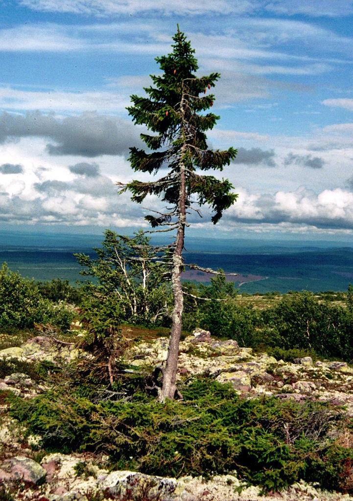Самое старое дерево на Земле