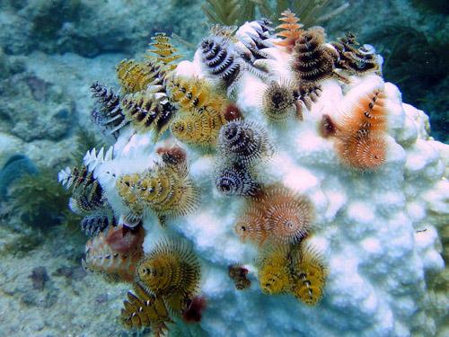 Чудесные обитатели морей, напоминающие новогодние мини-ёлки
