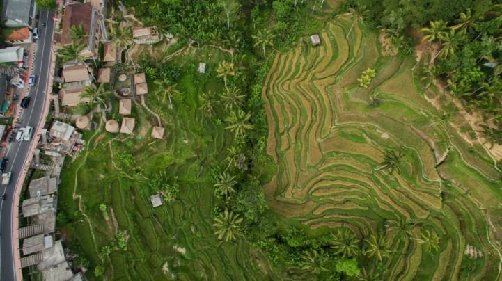 Тонкие рисовые поля в Тегаланге, Бали