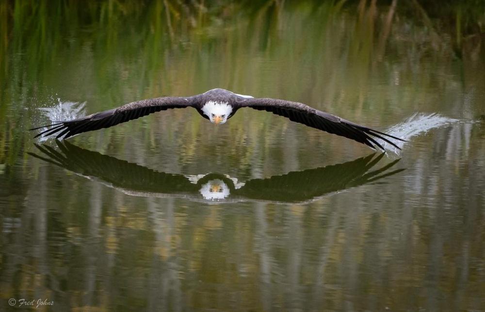 Орел парящий над озером,Канада