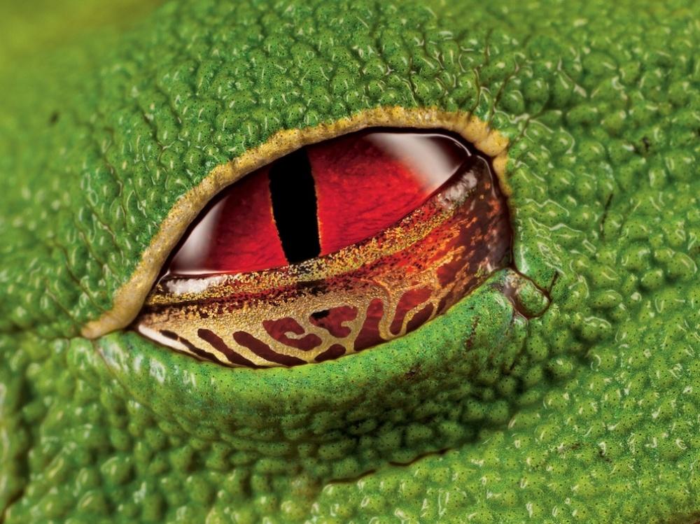 Алые глаза древесной лягушки, Коста-Рика