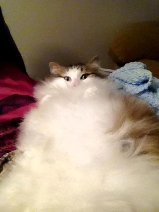 Бело-рыжий пушистый кот
