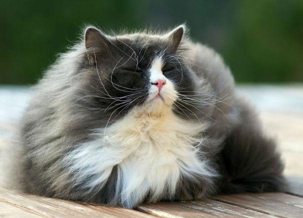 Довольный пушистый кот