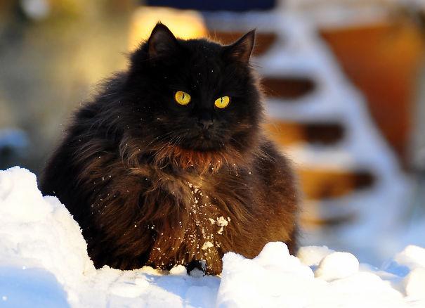 Чёрный кот на снегу