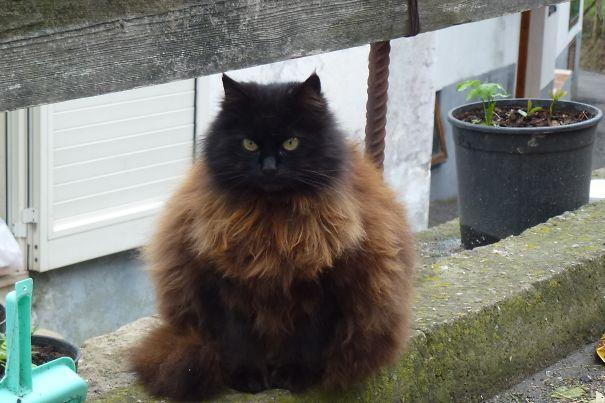 Чёрно-рыжий кот