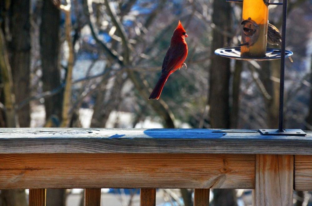 Левитация красного кардинала