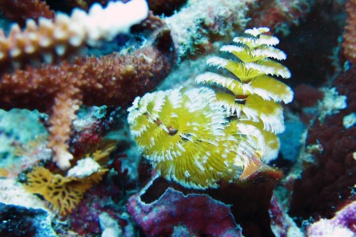 Spirobranchus giganteus - вид многощетинковых червей