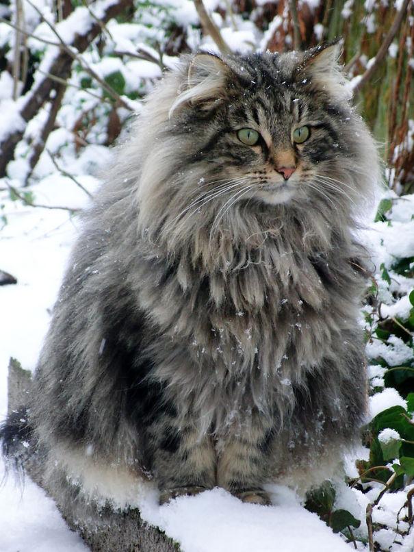 Фотография пушистого кота