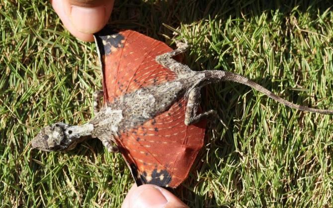 Летающие драконы — не вымысел