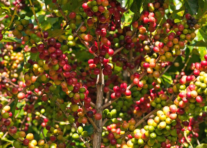 Кофе в естественной среде