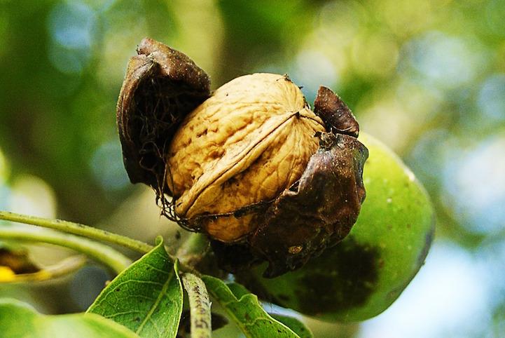 Грецкий орех в естественной среде