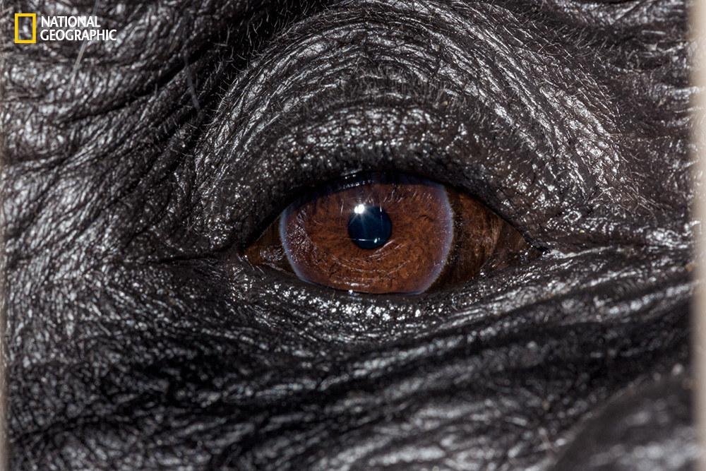 Глаз западной равнинной гориллы