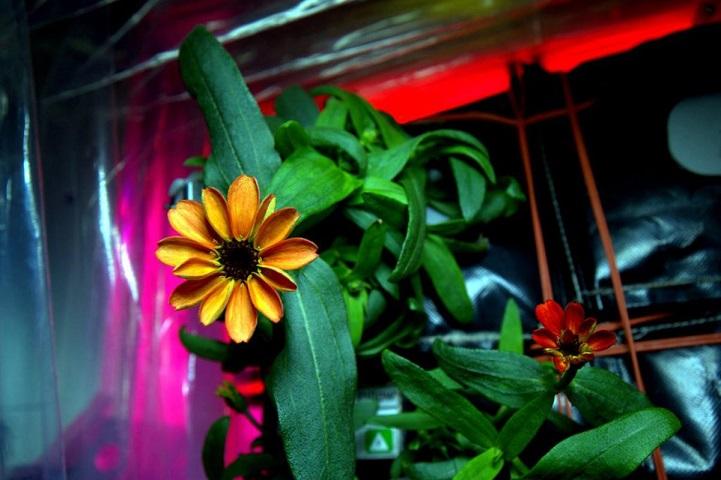 Первый в истории цветок, который расцвёл в космосе