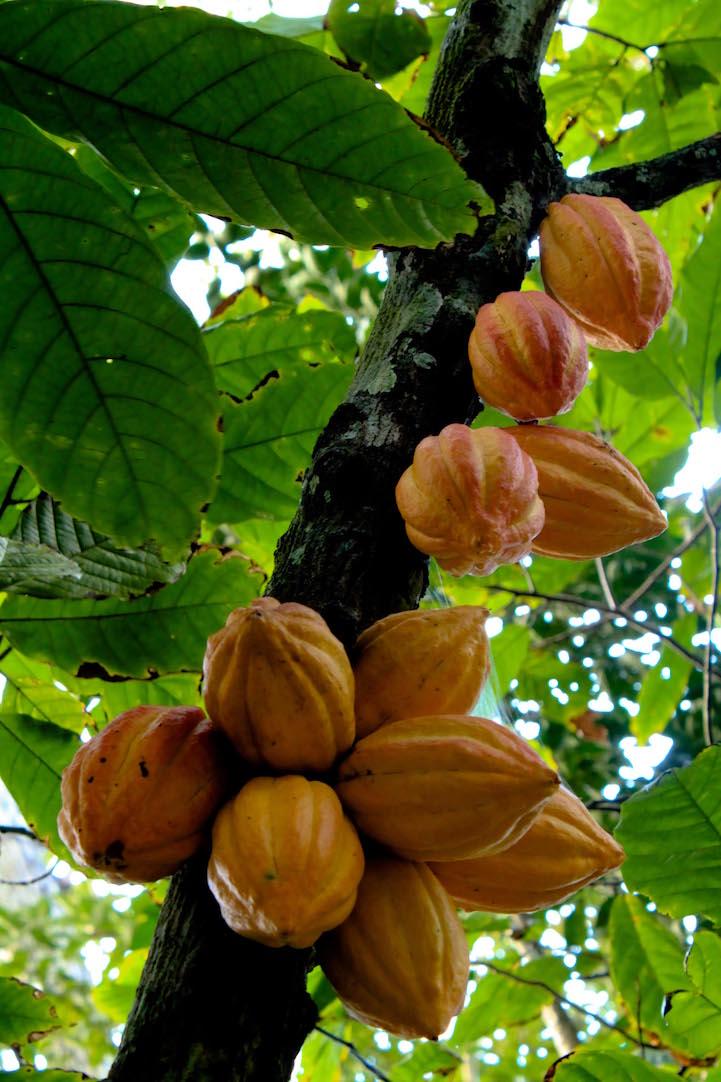 Какао в естественной среде