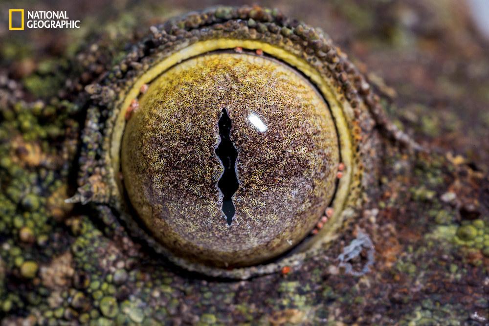Глаз мшистого плоскохвостого геккона