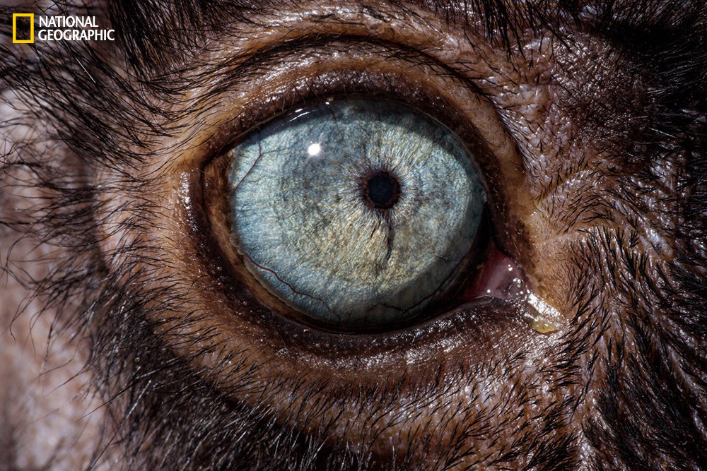 Глаз голубоглазого чёрного лемура