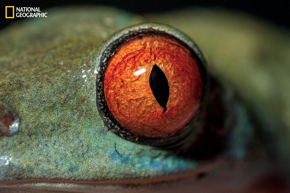 Глаз красноглазой квакши