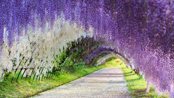 Сад цветов Кавачи Фуджи, Япония