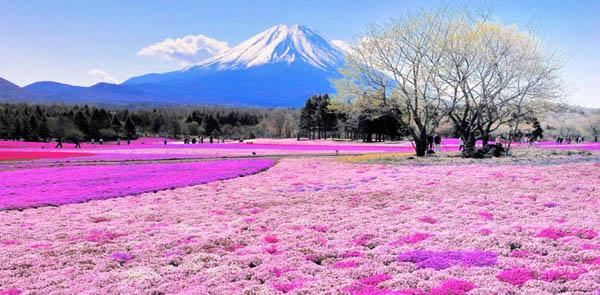 Холм Shibazakura, Япония
