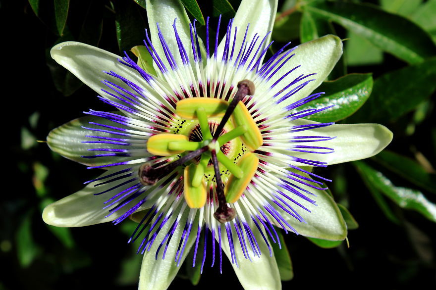 Страстоцвет голубой
