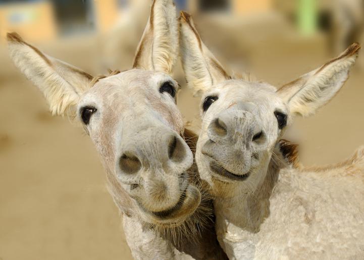 Очаровательные фотографии маленьких ослов