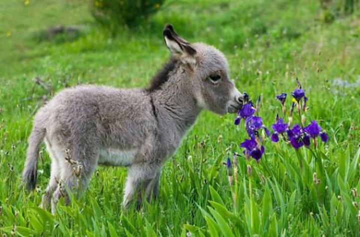 Ослик нюхает цветы