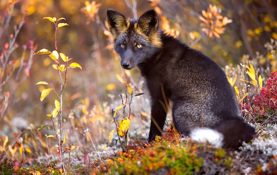 Редкой красоты чёрно-бурая лиса.