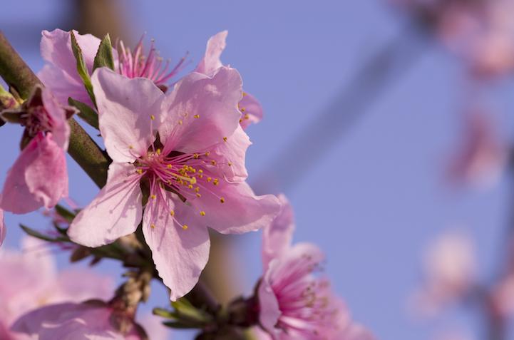 Персик цветёт