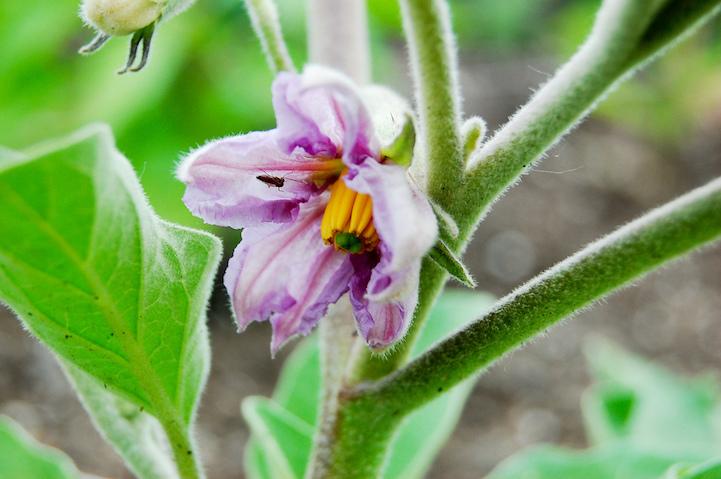 Баклажан цветёт