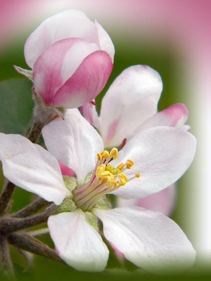 Яблоко цветёт