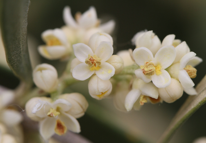 Олива цветёт
