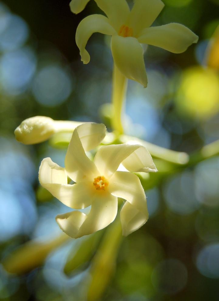 Папайя цветёт