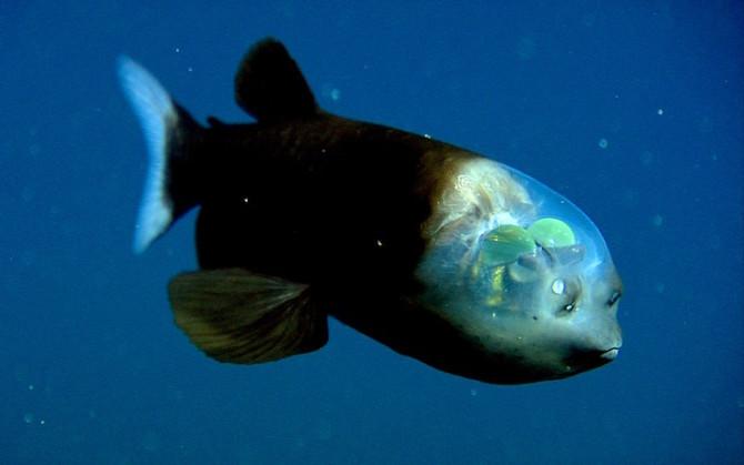 Рыба с прозрачной головой — малоротая макропинна