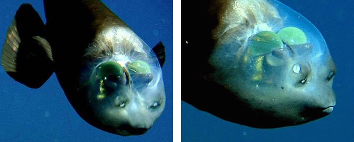 малоротая макропинна, рыба с прозрачной головой