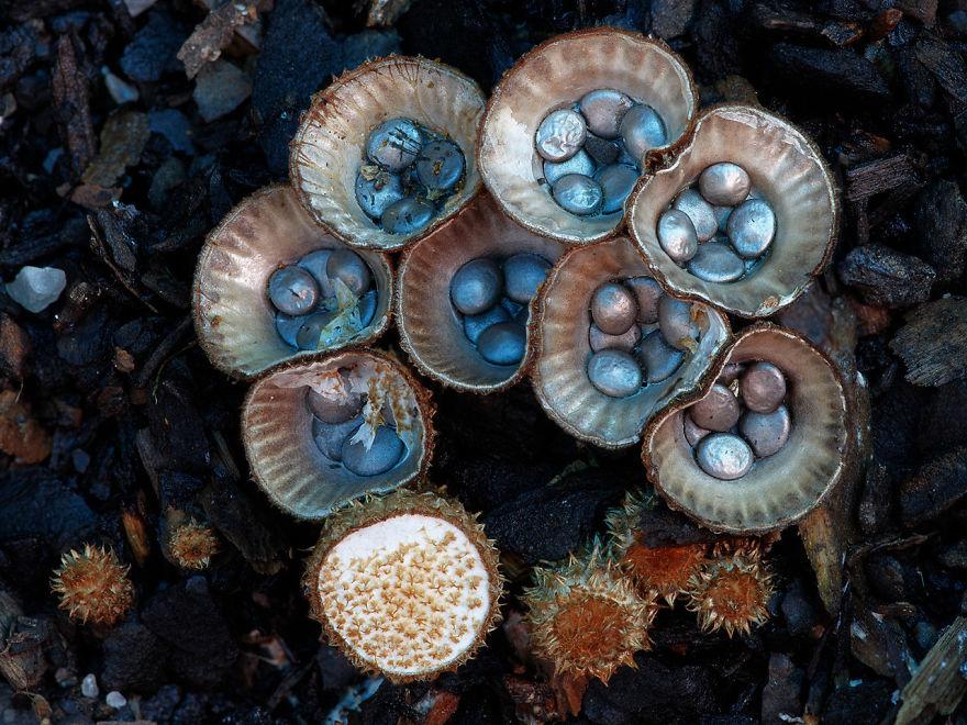 Гнездовковые (Cyathus Striatus)