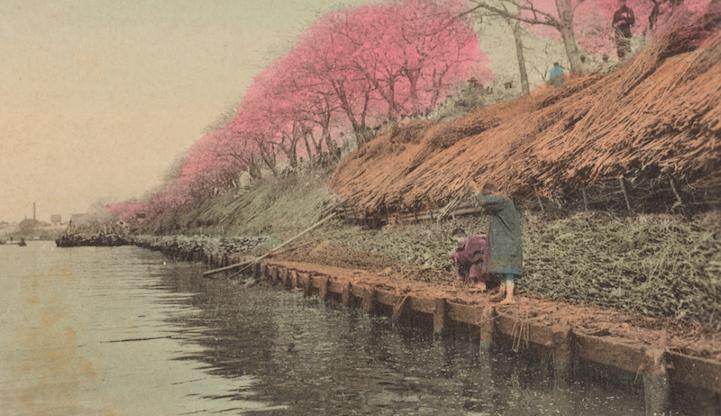 Вишневые цветы в Мукодзима, Токио, 1907-1918