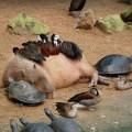 capybaras-1