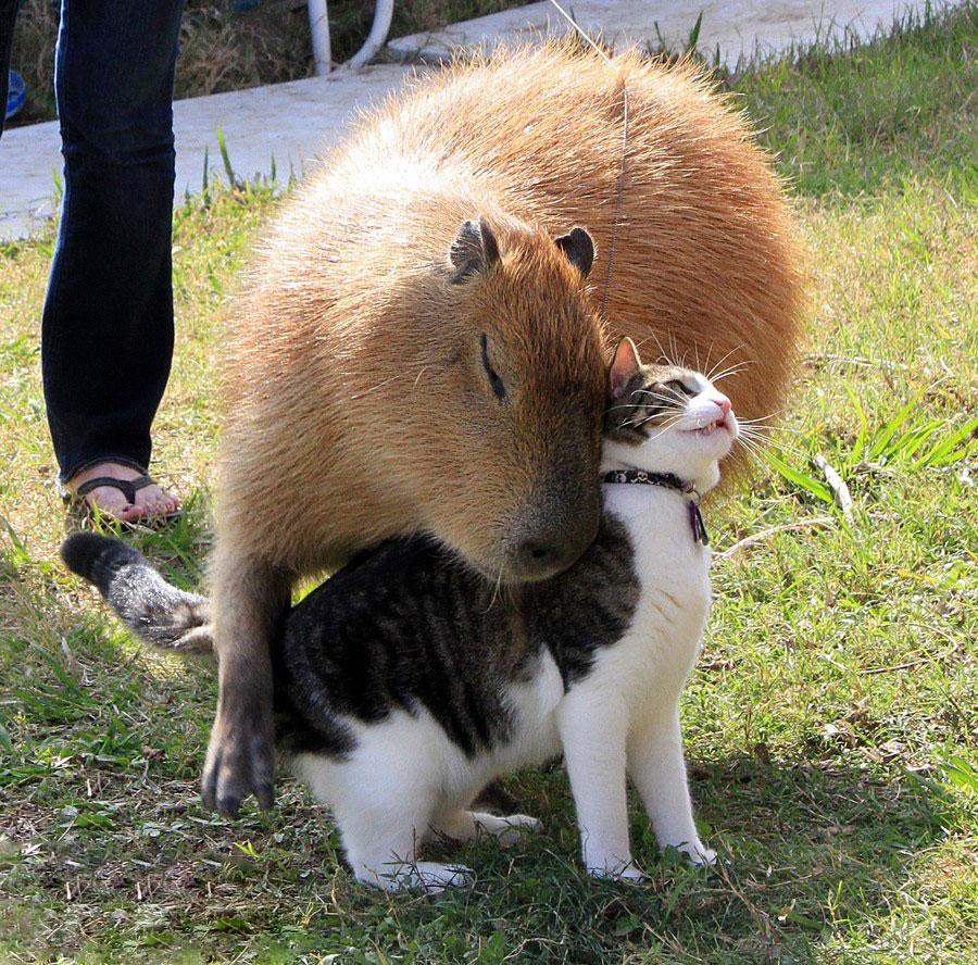 capybaras-2