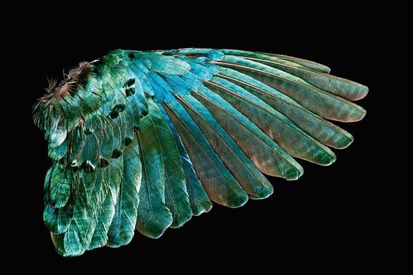 Исследование изысканной красоты птичьих перьев в фотографиях Роберта Кларка