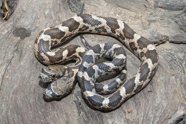 Необычная двуглавая змея с раздвоением личности