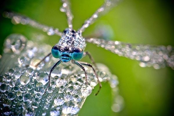 Неотразимые макро-фотографии насекомых в утренней росе