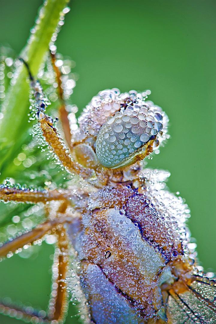 Макро-фотографии насекомых в утренней росе.