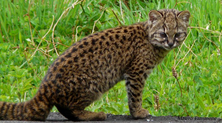 Чилийская кошка, или кодкод