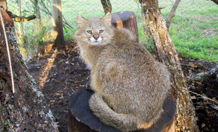 Leopardus pajeros, или пампасская кошка