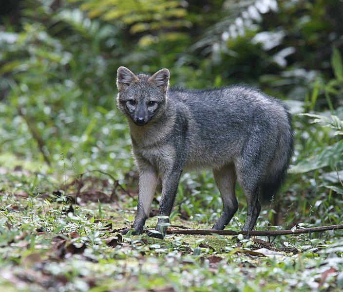 Майконг,или лисица-крабоед