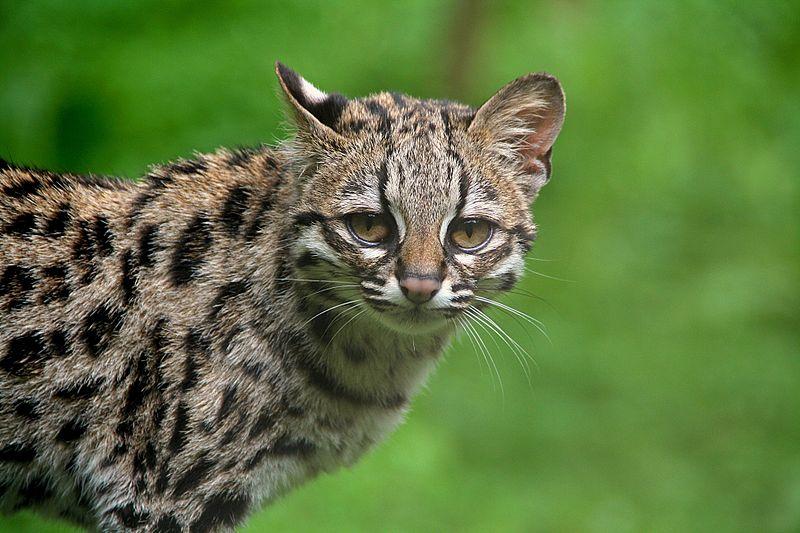 Длиннохвостая кошка, или маргай
