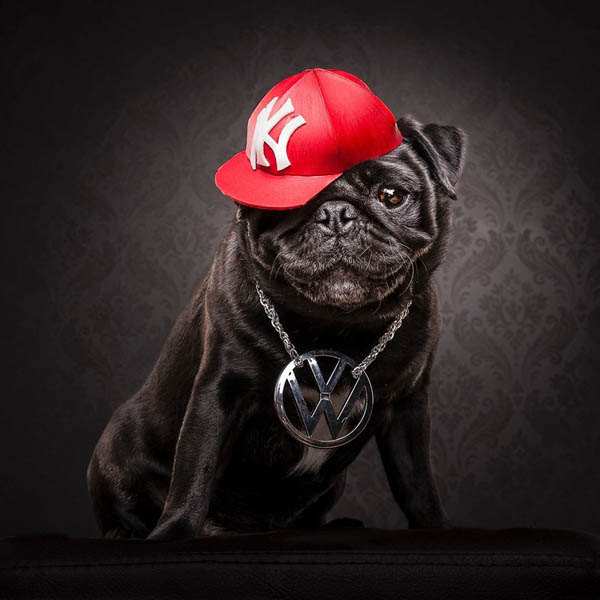 The Dog Photographers: фотографии мопсов, одетых в стиле «хип-хоп»