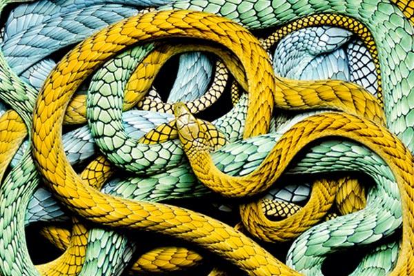 Осторожно! Страшно красивые фотографии змей от Гвидо Мокафико